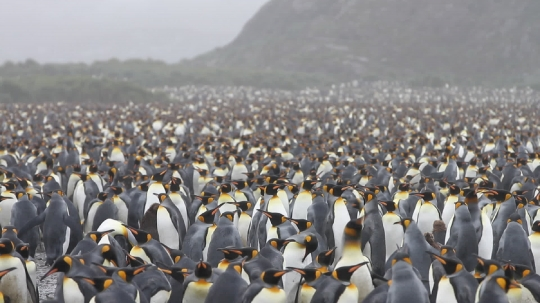 King Penguins 13