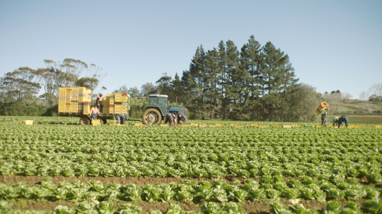 Hired farm workers harvesting lettuce by hand in field