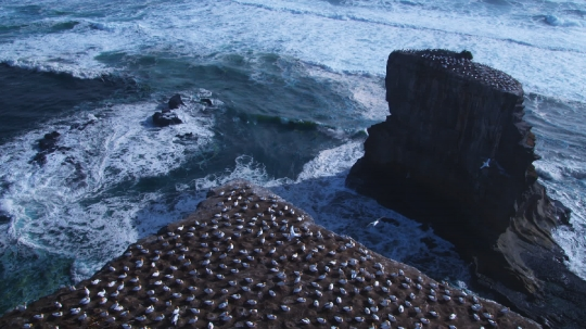gannet_colony1