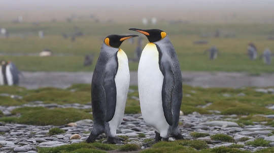 King_Penguins11